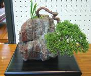 これは真柏(しんぱく)という樹木。管理が簡単なので、初心者向けの盆栽といわれています