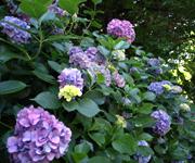 紫陽花(あじさい)は其処かしこで咲き乱れていました。美しかった!