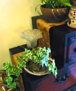 以前フラワーデザイン教室で作ったアイビーの苔玉もイキイキと。
