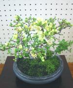 小さくても花を咲かせる力強さ。今は桜の盆栽が花の見頃を迎えています。(これはボケの盆栽)