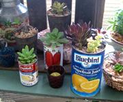 缶の底に穴を開けて多肉植物を植えています。