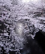 目黒川沿いの桜は圧巻でした。