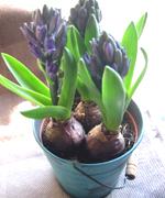 自分で育てているヒヤシンス。もうすぐ香りのよい花が咲きます。