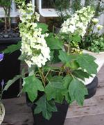 円錐形に咲く「柏葉あじさい」も旬。いつも植物のディスプレイをさせて頂いている設計事務所前にて