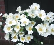 「ウエディングドレス」という品種のスプレーバラ。一重で美しい咲き姿。