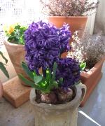 我が家の紫色のヒヤシンスも咲きました。