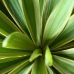暑い夏、植物が元気をくれます。ユッカ バリエガータ。