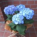 アジサイが旬を迎えています。素晴らしい青色!