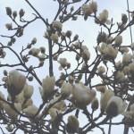見上げればモクレンの季節。私の大好きな花です。