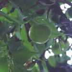 実家にある梅の木。実がなる樹木は楽しみも2倍。