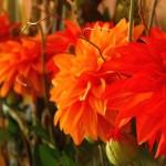 カフェを飾るダリアのアレンジ。本物のようですが造花です。