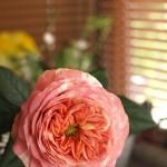 花弁がマーブル模様のバラ。存在感大です。