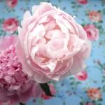 花は芍薬が旬を迎えています。ガーリーな魅力満載。