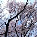 今年の桜も綺麗でした。