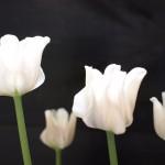 白い変わり咲きのチューリップ。少し幻想的な雰囲気に。