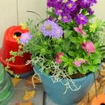 冬の花が出始めました。来月は寄せ植え教室を開講します。