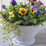冬から春にかけて楽しめる寄せ植えが人気です。