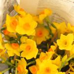 香りも良い「黄房水仙」。大好きな花です。