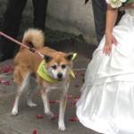 ぼくも結婚の証人(証犬?)になりました。ケンタ