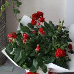 「鉢花おまかせ」の商品。旬のバラの鉢植えです。
